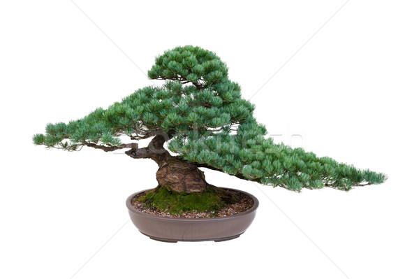Japans witte pine bonsai boom geïsoleerd Stockfoto © leeavison