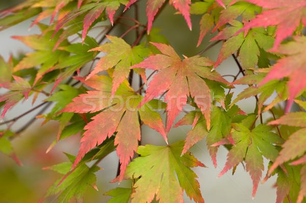acer leaves autumn Stock photo © leeavison