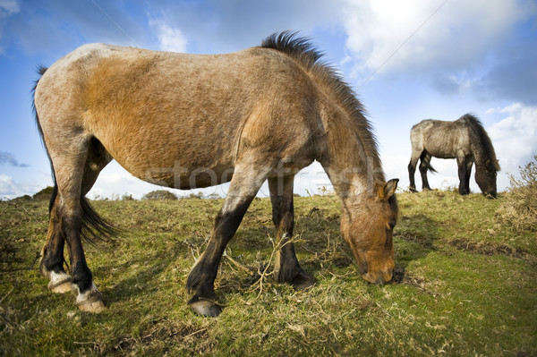 Dartmoor Pony Stock photo © leeavison