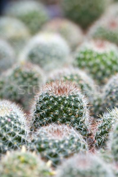 サボテン ジューシーな 緑 植物 背景 ボール ストックフォト © leeavison