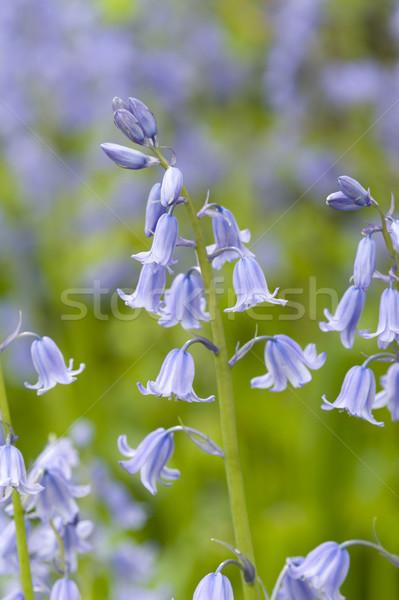 őslakos angol virág kék gyönyörű friss Stock fotó © leeavison