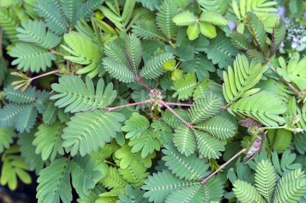 érzékeny növény levél Stock fotó © leeavison