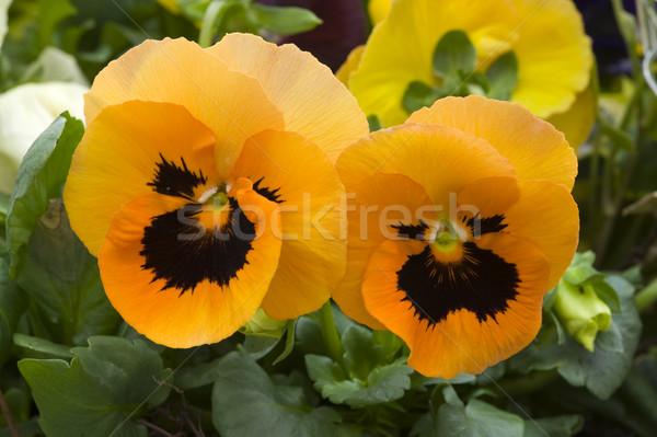 Narancs virágok közelkép virág Stock fotó © leeavison