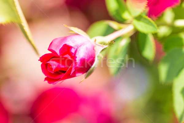 Beautiful scarlet rose in a bud with green foliage Stock photo © Len44ik