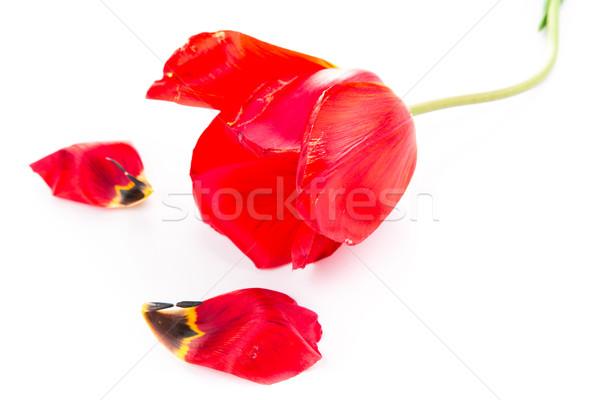 Schönen rot Tulpe isoliert weiß Frühling Stock foto © Len44ik