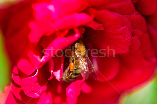 Abeille rassemblement pollen Rose Red macro coup Photo stock © Len44ik