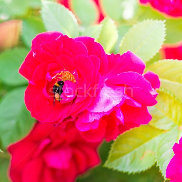 Méh gyűlés virágpor piros rózsa makró lövés Stock fotó © Len44ik