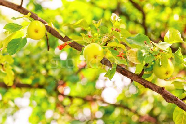 Taze olgun yeşil elma şube Stok fotoğraf © Len44ik