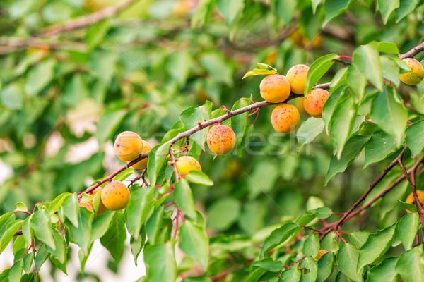 Photo stock: Croissant · branche · feuilles · vertes · alimentaire · jardin