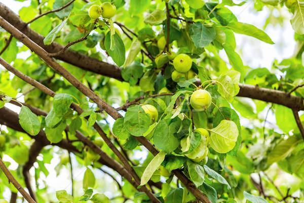 Frischen voll grünen Äpfel Zweig Ast Stock foto © Len44ik