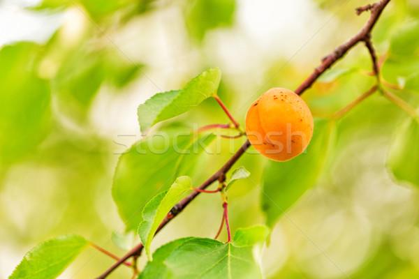 Rijp groeiend tak groene bladeren voedsel tuin Stockfoto © Len44ik