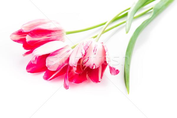 Piękna bukiet różowy fioletowy tulipany odizolowany Zdjęcia stock © Len44ik