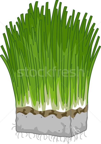 Wheatgrass Stock photo © lenm