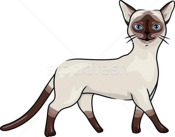 Sziámi macska illusztráció sétál díszállat vektor izolált Stock fotó © lenm
