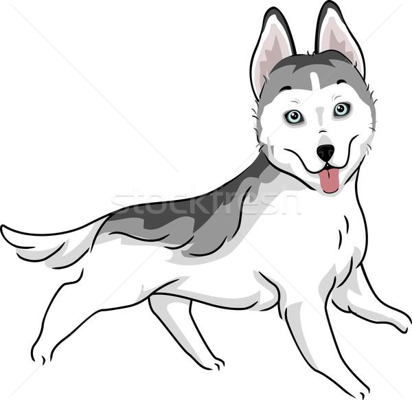 Siberian Husky Stock photo © lenm