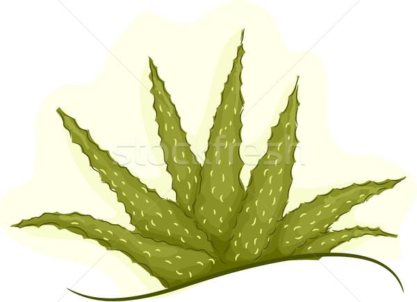 Plant Aloe Vera Cluster Stock photo © lenm
