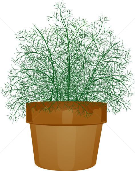 Potted Dill Leaves Stock photo © lenm