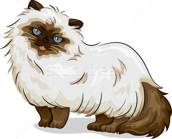 Himalayan Cat Stock photo © lenm