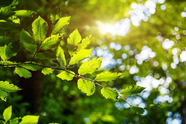 葉 光明 綠葉 森林 烏克蘭 商業照片 © Leonidtit