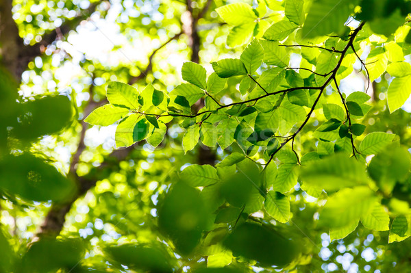 Yaprak parlak yeşil yaprakları orman Ukrayna Stok fotoğraf © Leonidtit