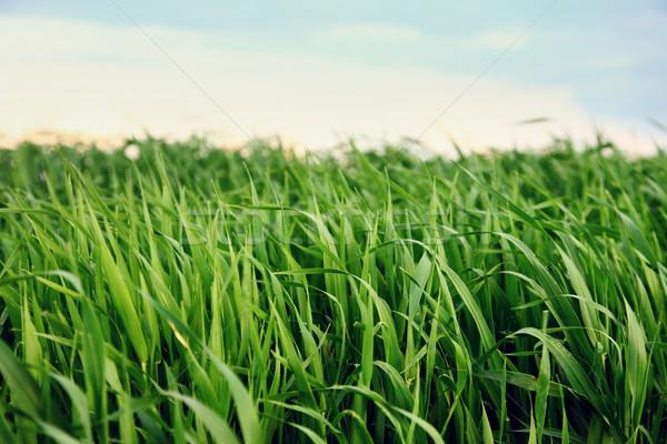 Fű gyönyörű tavasz mező zöld fű égbolt Stock fotó © Leonidtit