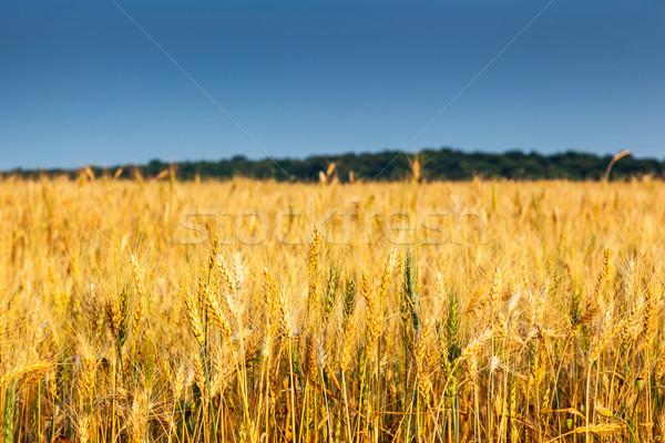 Mező arany búzamező kék ég Ukrajna Európa Stock fotó © Leonidtit