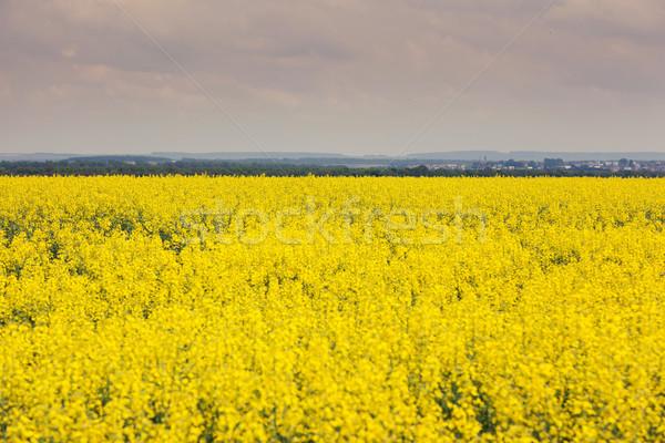 Domaine fleurs pétrolières ciel bleu nuages arbre Photo stock © Leonidtit