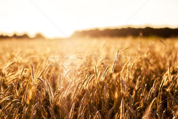 Buğday fantastik gün batımı Ukrayna Avrupa Stok fotoğraf © Leonidtit