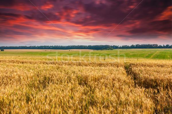 wheat Stock photo © Leonidtit