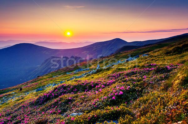Flor magia rosa flores verão montanha Foto stock © Leonidtit