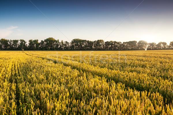 小麦 金 麦畑 青空 ウクライナ ヨーロッパ ストックフォト © Leonidtit
