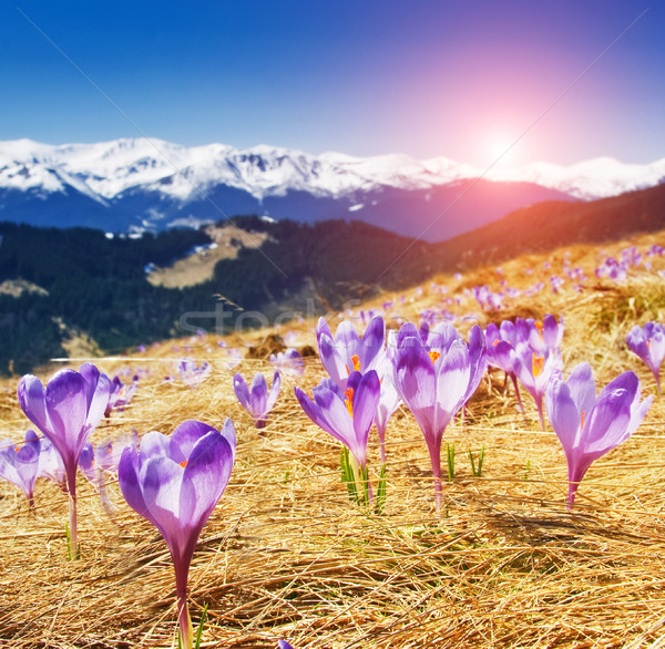Stock photo: beautiful spring flowers