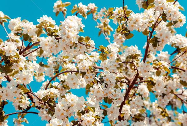 apple tree Stock photo © Leonidtit