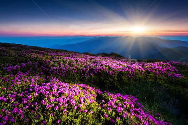 Virág mágikus rózsaszín virágok sötét kék ég Stock fotó © Leonidtit
