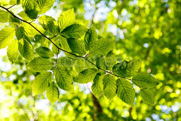 Levél fényes zöld levelek ágak erdő Ukrajna Stock fotó © Leonidtit