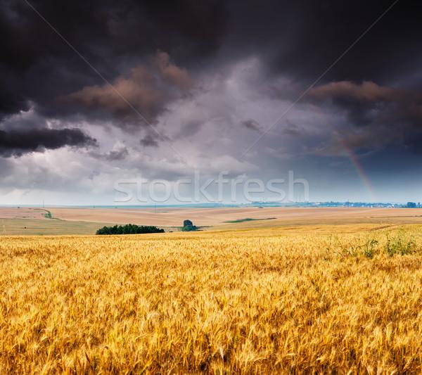Campo ouro campo de trigo blue sky céu Ucrânia Foto stock © Leonidtit