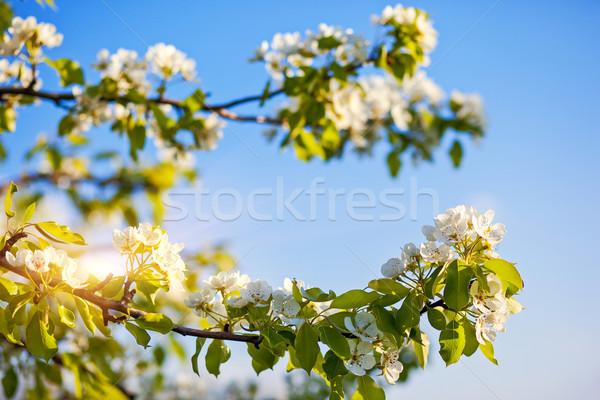Almafa virágzó alma fák tavasz Ukrajna Stock fotó © Leonidtit