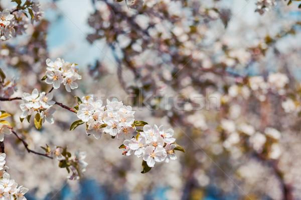 Photo stock: Pommier · floraison · pomme · arbres · printemps · Ukraine
