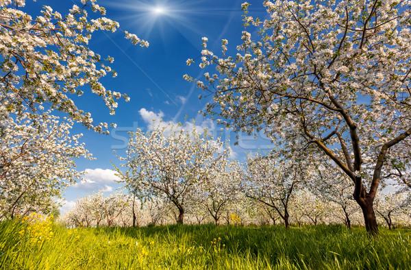Appelboom appelboomgaard voorjaar Oekraïne Europa Stockfoto © Leonidtit