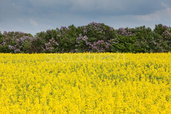 場 花卉 油 藍天 雲 樹 商業照片 © Leonidtit