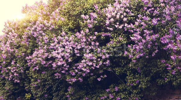 Güzel çiçekler yaprakları güzellik Stok fotoğraf © Leonidtit