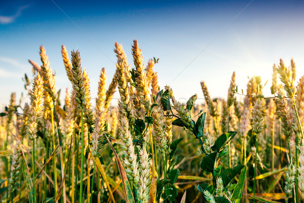 Buğday altın mavi gökyüzü Ukrayna Avrupa Stok fotoğraf © Leonidtit