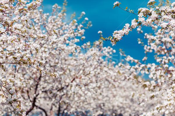 Elma ağacı elma ağaçlar bahar Ukrayna Stok fotoğraf © Leonidtit