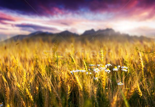 小麦 幻想的な 麦畑 日没 カラフル 空 ストックフォト © Leonidtit