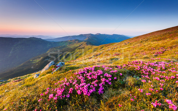 Fleur magie rose fleurs été Ukraine Photo stock © Leonidtit