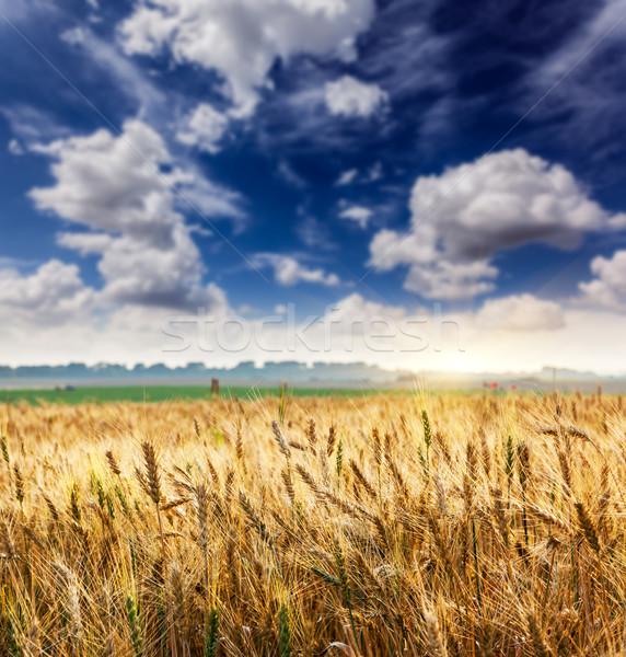 Campo de trigo branco fofo nuvens Ucrânia europa Foto stock © Leonidtit