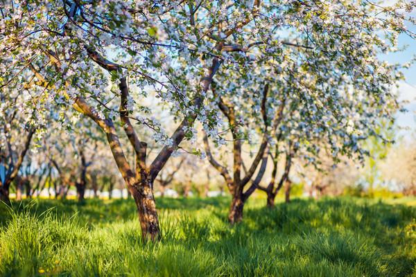 Almafa virágzó alma gyümölcsös tavasz Ukrajna Európa Stock fotó © Leonidtit