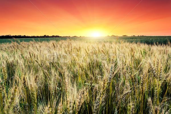 Buğday fantastik gün batımı renkli gökyüzü Stok fotoğraf © Leonidtit