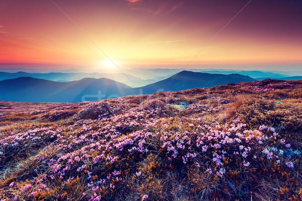 花 魔術 粉紅色 花卉 夏天 山 商業照片 © Leonidtit