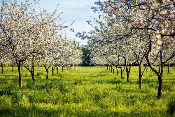 Elma ağacı elma bahçesi bahar Ukrayna Avrupa Stok fotoğraf © Leonidtit
